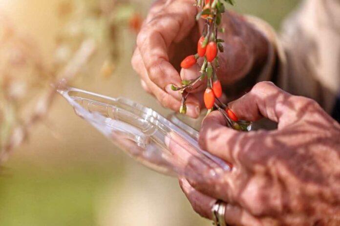 In Toscana il Goji è biologico e biodinamico