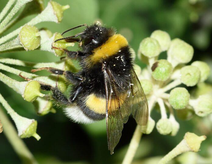 Stress termico sulle api, garantire l'accesso a risorse di alta qualità potrebbe ridurne gli impatti