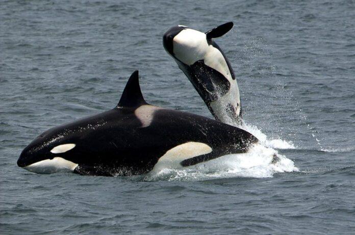 Ricerca: in molte specie animali esistono vere e proprie forme di cultura