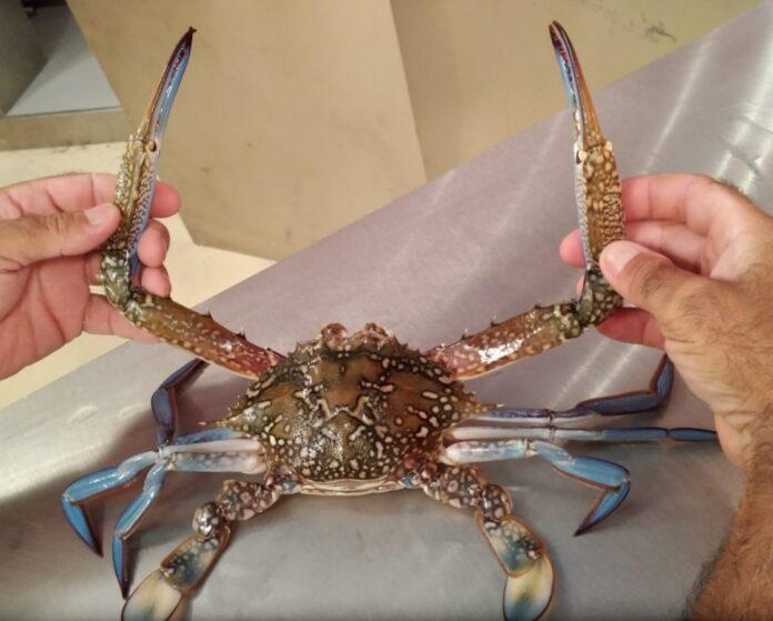 Invasioni biologiche, il granchio blu del Mar Rosso arriva a Lampedusa