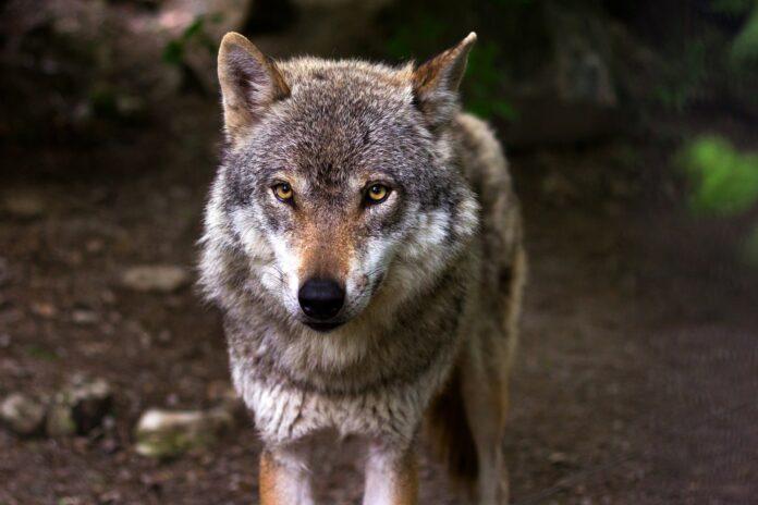 I lupi mangiano i mirtilli per nutrire i loro cuccioli. Dal Minnesota la scoperta degli studiosi