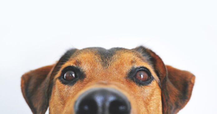 Nuovo coronavirus, i cani addestrati per riconoscere i positivi