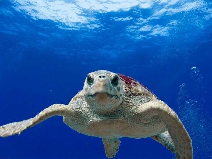 Giornata Mondiale Delle Tartarughe: 64 le tartarughe caretta caretta recuperate
