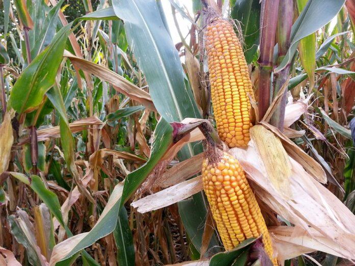 COMBI MAIS, l'agricoltura innovativa e sostenibile da cui ripartire