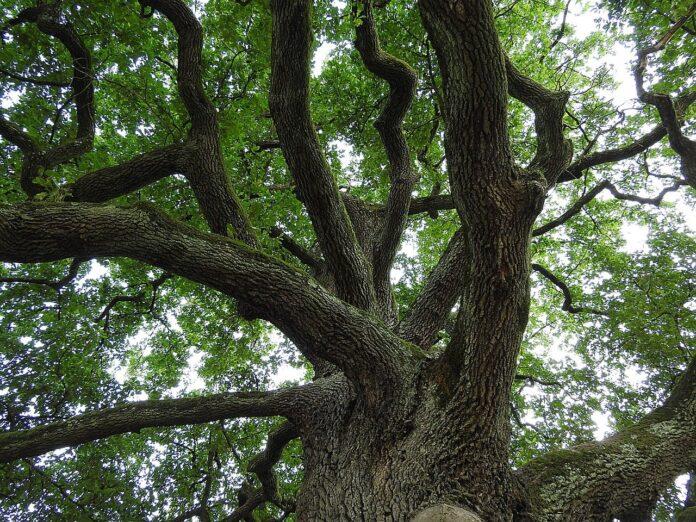 Demetra, in Aspromonte scoperto l'albero di quercia più antico del mondo