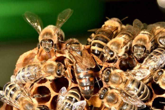 Il veleno delle api un alleato contro il tumore al seno più aggressivo