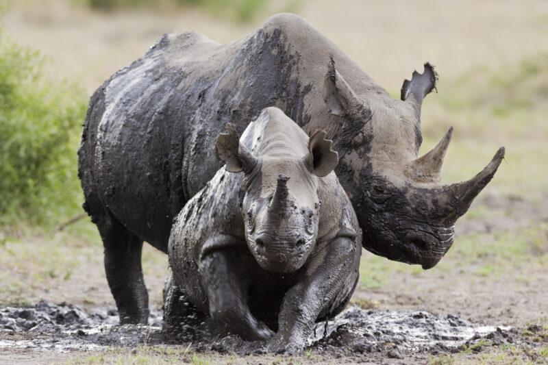 La pandemia ha fatto il miracolo, almeno per i rinoceronti