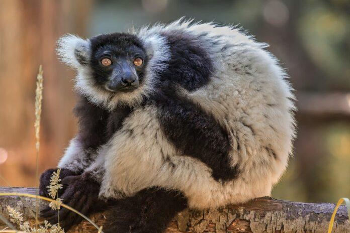 Il lemure Silver più anziano d'Europa a 32 anni se ne è andato, lasciando 81 discendenti