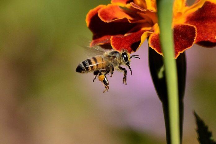 Clima impazzito, a rischio la sopravvivenza delle api
