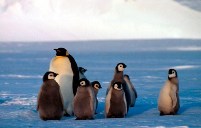 Giornata mondiale del pinguino, metà popolazione pinguino Imperatore a rischio