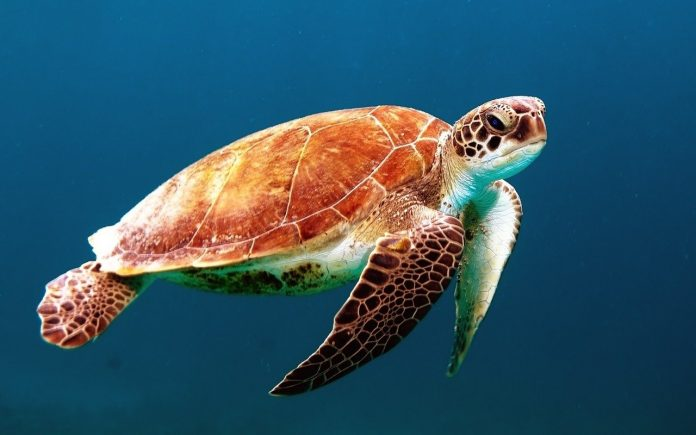 Azzurra torna libera, tartaruga marina rilasciata al largo dell'isola di Palmarola