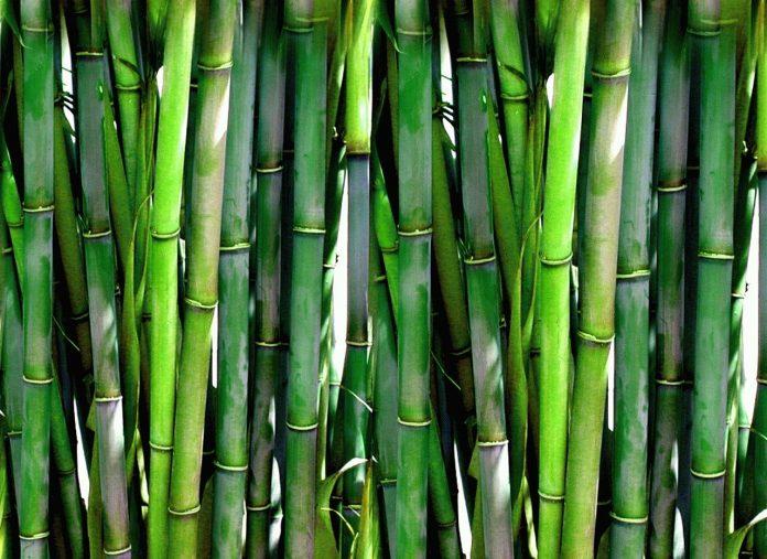 Bambù in Maremma, preoccupazioni per ecosistemi e biodiversità