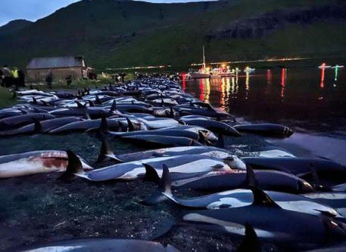 Grindadràp, strage di Delfini senza precedenti in Danimarca
